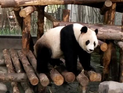 Panda di Shanghai Wild Animal Park